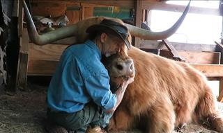 This Huge Scottish Cow Has the Heart of a Puppy!