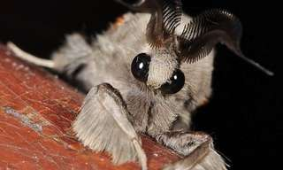 The Poodle Moth - Amazing!