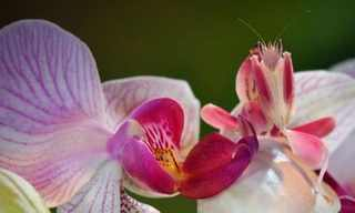 The Mantis That Disguises Itself as an Orchid
