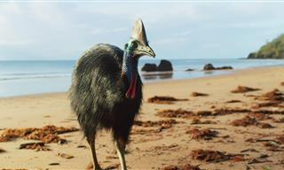 Meet the Giant Cassowary – The Modern-Day Dinosaur