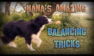 A Video of a Dog Performing Amazing Balancing Tricks