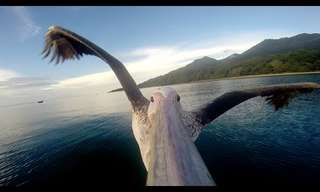 This Pelican Is Learning to Fly - Lovely!