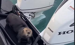 Amazing - Otter Jumps On a Boat to Escape Predator