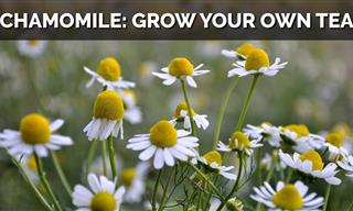 Easy Tips for Growing Chamomile in Your Home Garden