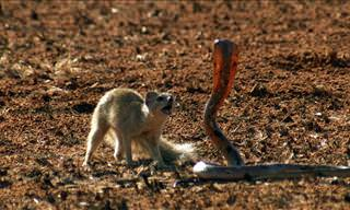 Witness the Timeless Legend of the Mongoose and the Cobra