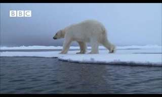 Wild Nature: The Ninja Polar Bear!