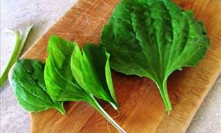 The Healing Powers of Plantain Leaves