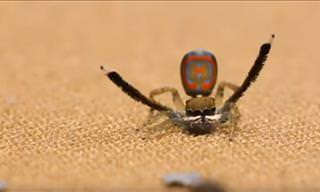 Did you Know This Species of Spiders Can Sing and Dance?