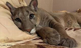 The Puma Rescue Story That's Guaranteed to Melt Your Heart