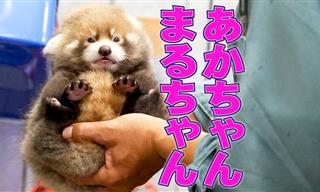 Watch MARUMI the Red Panda Grow and Play!