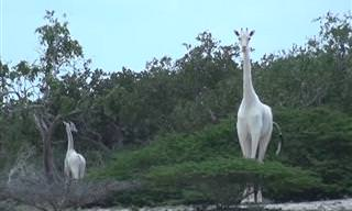 Have You Ever Seen a Couple of White Giraffes?