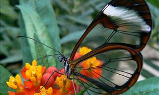 The Beautiful Glass Butterfly