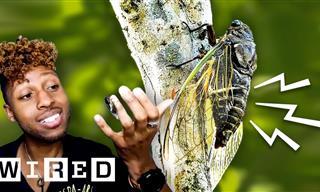You've Probably Greatly Misunderstood Those Noisy Cicadas