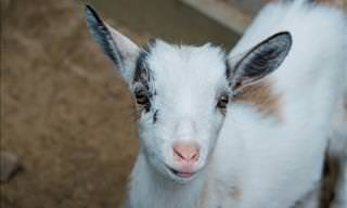 Baby Goats: The Cutest Animal on the Farm