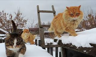 Majestic Siberian Cats in All Their Glory