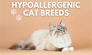 10 Hypoallergenic Cat Breeds for Those Allergic to Felines
