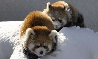 Cutest Video of the Day - Red Pandas in Snow!