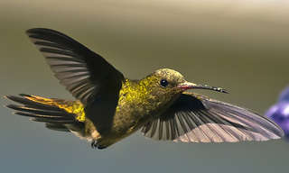 Gorgeous Hummingbird In Facts and Photos