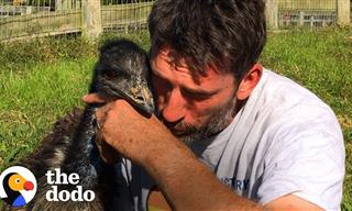 Cute Corner: This Emu Is In Love With a Human