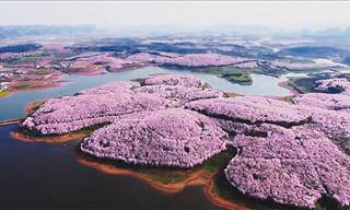 China's Majestic Cherry Blossom Bloom