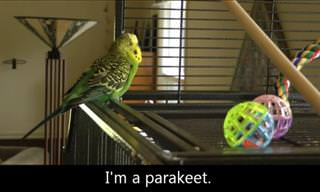 Disco the Talking Parakeet Is an Internet Sensation!
