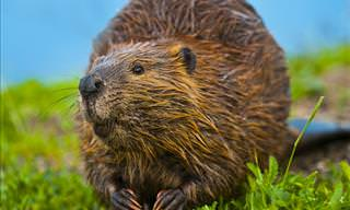 This is Why Beavers Are the Smartest Animals Out There!
