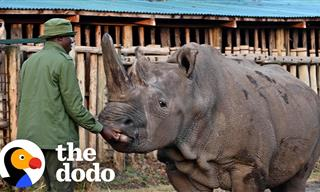 Meet the Two Last White Rhinos On Earth