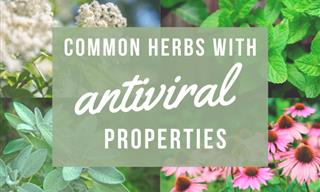 11 Common Herbs with Antiviral Properties