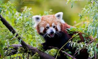 There's Another Panda, And It's Even Cuter.