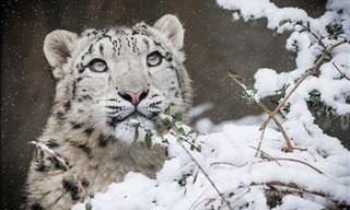 10 Adorable Snow Leopard Photos with Intriguing Facts