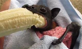 A Bat Eating a Banana Like There's No Tomorrow