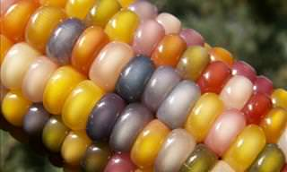 The Glass Gem Corn: A Rediscovered Species?