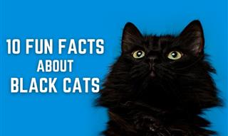 10 Fun Facts About Black Cats