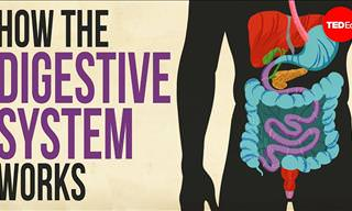How Does Our Digestive System Work?