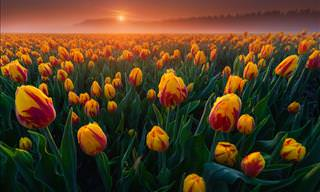 Beautiful Photographs of Dutch Tulips