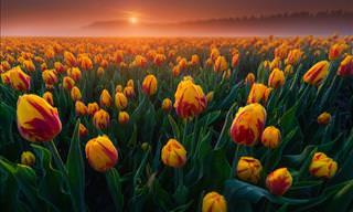 Beautiful Photographs of Dutch Tulips