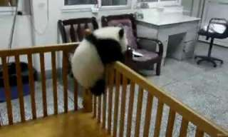 Cute Overload: Baby Panda Makes Escape!