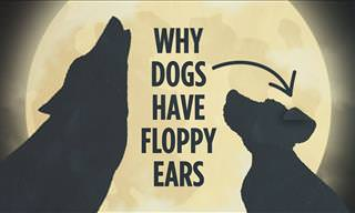 Why Do Dogs Have Floppy Ears When Wolves and Foxes Don't?