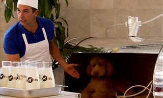Just For Laughs Gags - Man Sells Milk From a Dog