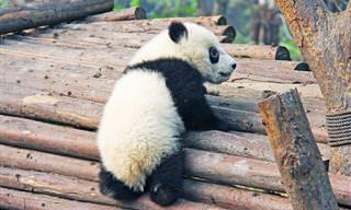 14 Cute and Funny Panda Bears