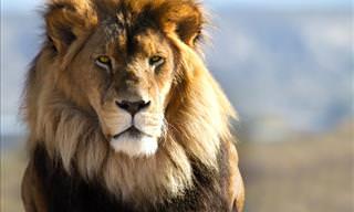 The Beautiful Lion Tamer