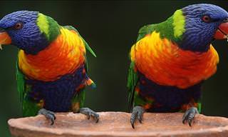 Very Bad Little Parrots