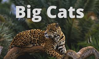 What Do You Know About Big <b>Cats</b>?
