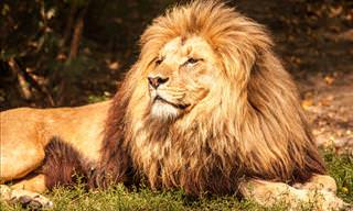 <b>How</b> Much Do You Know <b>About</b> Lions?