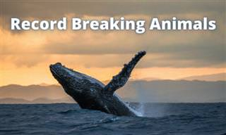 <b>Animal</b> Record Breakers