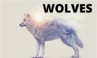 <b>What</b> Do <b>You</b> Know About WOLVES?