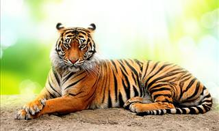 <b>How</b> Much Do You Know <b>About</b> The Proud Tiger?