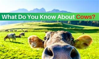 What Do You Know <b>About</b> COWS?